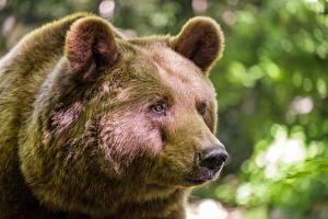 Tapety na pulpit Niedźwiedź Niedźwiedź brunatny Zbliżenie Pysk Wzrok zwierzę