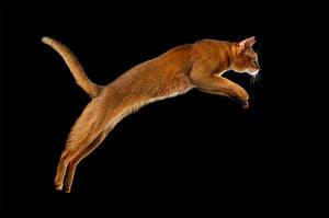 Fotos Hauskatze Schwarzer Hintergrund Sprung Schwanz Tiere