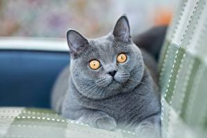 Hintergrundbilder Katzen Britisch Kurzhaar Starren Graues Schnauze Tiere