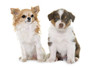 Image Cats Dogs White background Two Shepherd Chihuahua Puppy