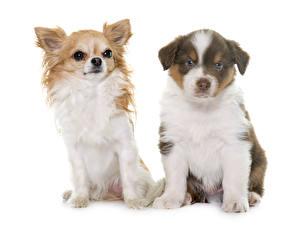 Hintergrundbilder Katze Hund Weißer hintergrund Zwei Shepherd Chihuahua Welpe