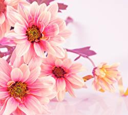 Hintergrundbilder Chrysanthemen Großansicht Weißer hintergrund