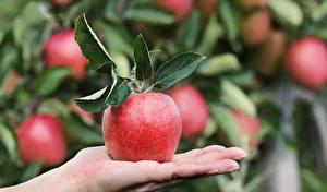 Fotos Großansicht Äpfel Hand Blattwerk