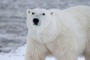 Tapety na pulpit Zbliżenie Niedźwiedzie Niedźwiedź polarny Pysk Wzrok Zwierzęta