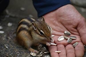 Fotos Großansicht Finger Nagetiere Chipmunks Sonnenblumensamen Hand Tiere