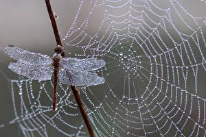 Bilder Nahaufnahme Libellen Spinnennetz Tropfen Tiere