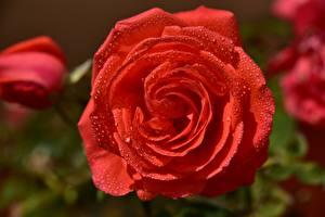 Fotos Großansicht Rosen Kronblatt Rot Tropfen Blumen