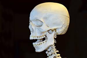Bilder Großansicht Cranium Schwarzer Hintergrund Zähne Kopf