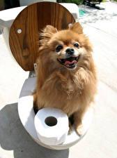 Photo Creative Dogs Toilet Spitz Glance Animals