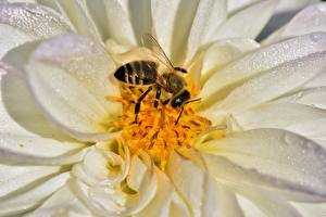 Pictures Dahlias Closeup Bees Insects Animals