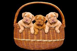 Fotos Hund Schwarzer Hintergrund Weidenkorb Welpe Drei 3 Dogue de Bordeaux ein Tier
