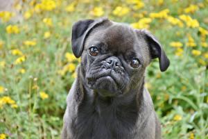 Fotos Hunde Großansicht Mops (Hunderasse) Starren Schnauze