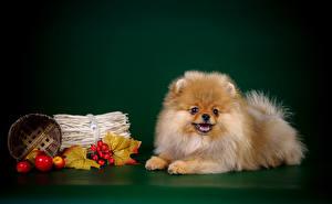 Bilder Hund Farbigen hintergrund Spitz Weidenkorb