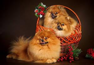 Image Dog Sorbus Wicker basket Three 3 Spitz Staring animal