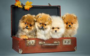 Hintergrundbilder Hunde Koffer Spitz Blattwerk Starren Tiere