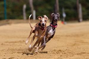 Hintergrundbilder Hunde Zwei Lauf Sand Greyhound Tiere