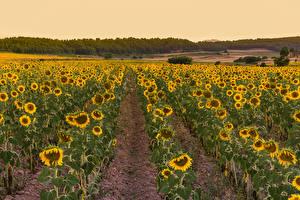 Bilder Acker Sonnenblumen Natur