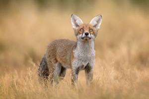 Pictures Foxes Glance Animals