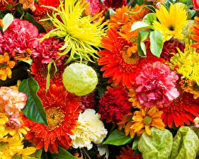 Hintergrundbilder Gerbera Nelken Chrysanthemen Großansicht