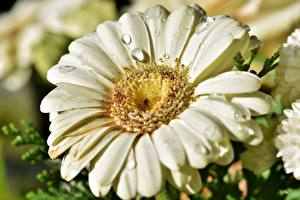 Fotos Gerbera Großansicht Makrofotografie Tropfen Kronblätter Blüte
