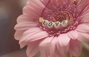 Hintergrundbilder Gerbera Liebe Nahaufnahme Kronblätter Rosa Farbe