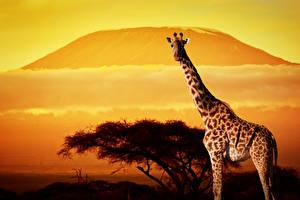 Bilder Giraffe