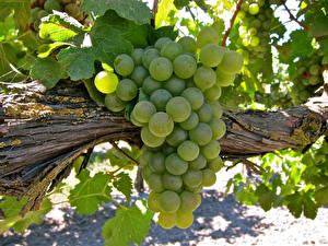 Bilder Weintraube Großansicht Ast Grün