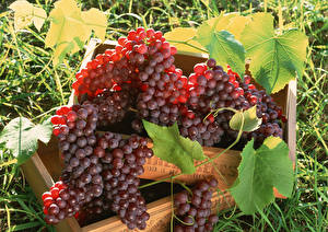 Hintergrundbilder Weintraube Großansicht Blatt