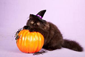 Bilder Halloween Kürbisse Katzen Webspinnen Farbigen hintergrund Der Hut Blick