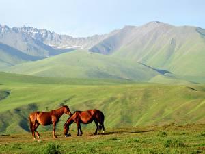 Fotos Gebirge Pferde Alpen Zwei Gras Hügel Tiere