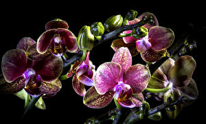 Images Orchid Closeup Black background Flowers