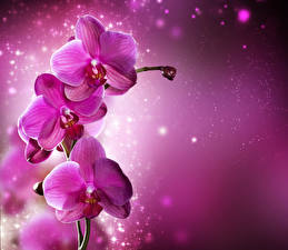 Photo Orchid Closeup Pink color Flowers