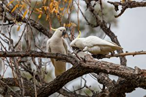 Pictures Parrots Branches Two Cockatoo Animals