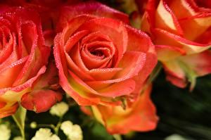 Bilder Rosen Großansicht Rosa Farbe Petalen Tropfen Blumen