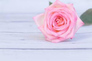 Hintergrundbilder Rosen Rosa Farbe Blumen