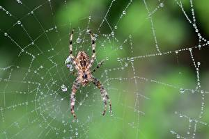 Images Spiders Closeup Spider silk Drops Animals