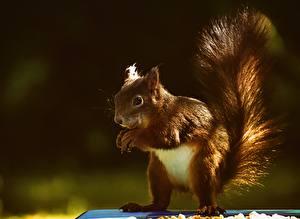 Fotos Hörnchen Großansicht Schwanz