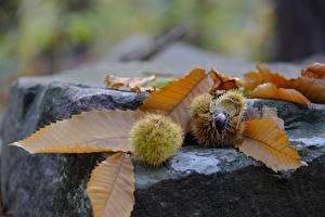 Fotos Stein Kastanien Herbst Nahaufnahme Blattwerk Natur