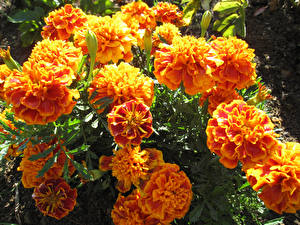 Wallpaper Tagetes Closeup Flowers