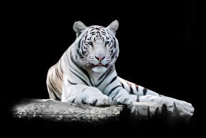 Hintergrundbilder Tiger Schwarzer Hintergrund Weiß Starren Tiere
