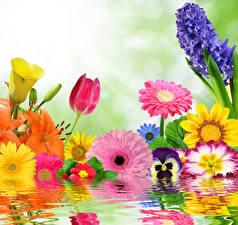 Hintergrundbilder Wasser Gerbera Tulpen Hyazinthen Veilchen Blumen