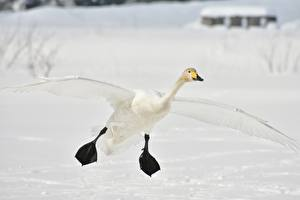 Fotos Winter Vögel Gänse Schnee Flug Pfote ein Tier