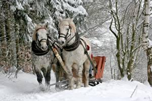 Bilder Winter Hauspferd Schnee Bäume Zwei ein Tier