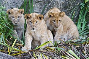 Wallpaper Big cats Lions Cubs Three 3