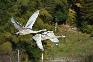 Picture Birds Geese 2 Flight Animals