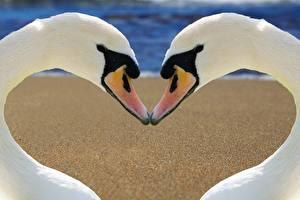 Bilder Vögel Schwäne 2 Weiß Schnabel Herz Tiere