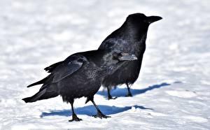 Hintergrundbilder Vogel Winter Krähen Schnee 2 Schnabel Tiere