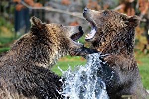 Tapety na pulpit Niedźwiedzie Niedźwiedź brunatny Z bliska Dwóch Plusk wody Bójka Zwierzęta