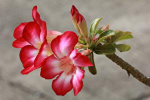 Hintergrundbilder Trompetenblumen Hautnah Knospe Blüte