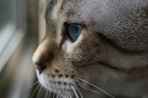 Hintergrundbilder Katze Großansicht Schnurrhaare Vibrisse Schnauze Blick